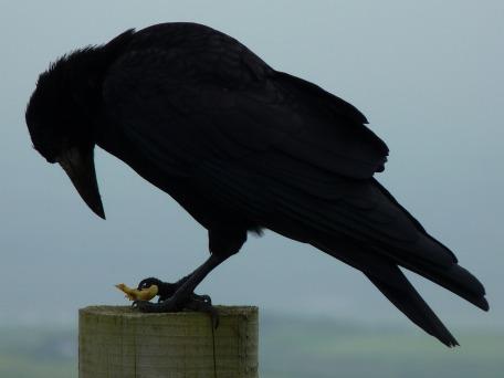 crow-456996_1280